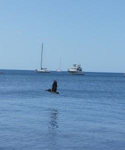 Un pélican prend son envol sur la plage à la Dominique.