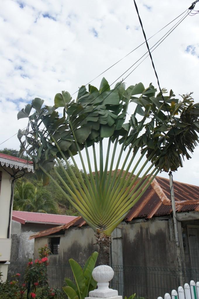 L'arbre du voyageur dans le petit bourg des Saintes